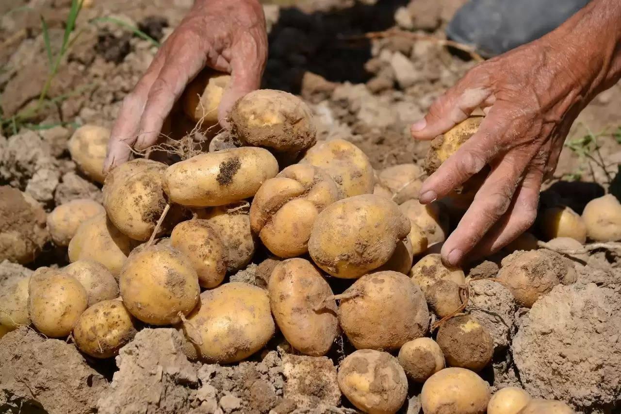 Aloo ki Kheti Potato Farming Schemes